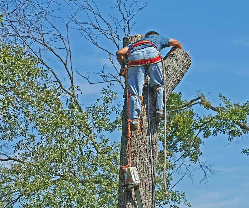 a commercial tree service in Los Feliz