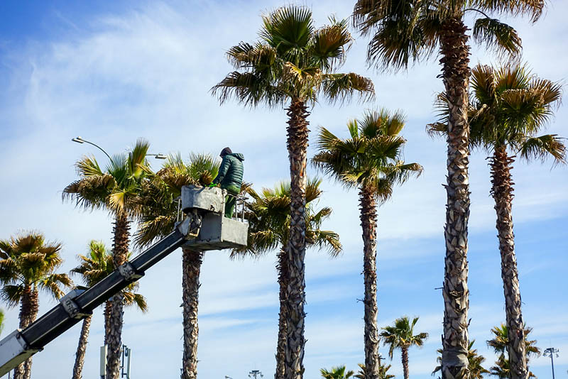 palm tree removal in silver lake