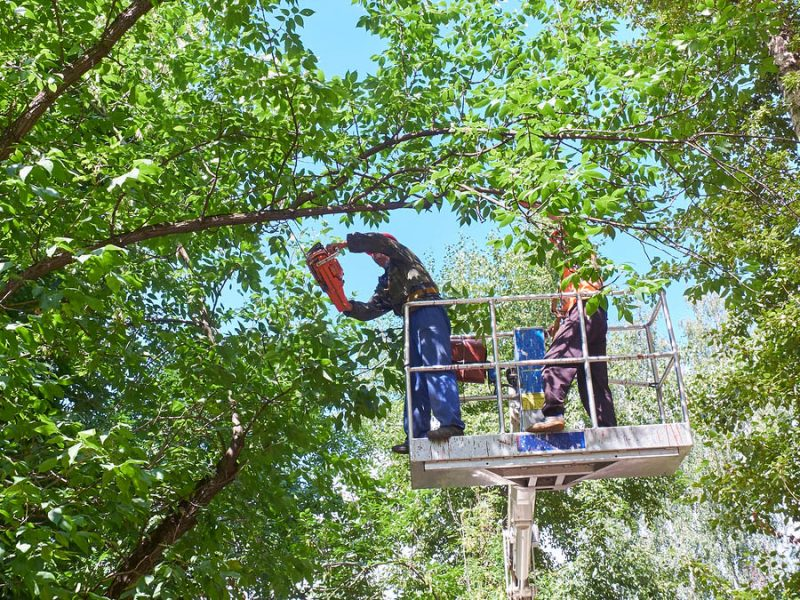 View On Workers Cutting Tops Of The Trees By Chainsaw At Elevato