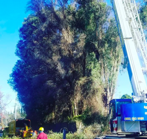 tree removal in silverlake